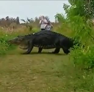 Aligátor gigante en Lakeland, Florida