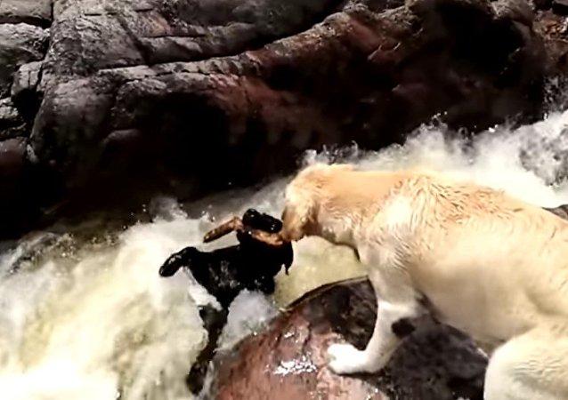 Un perro salva a otro de ser engullido por el río