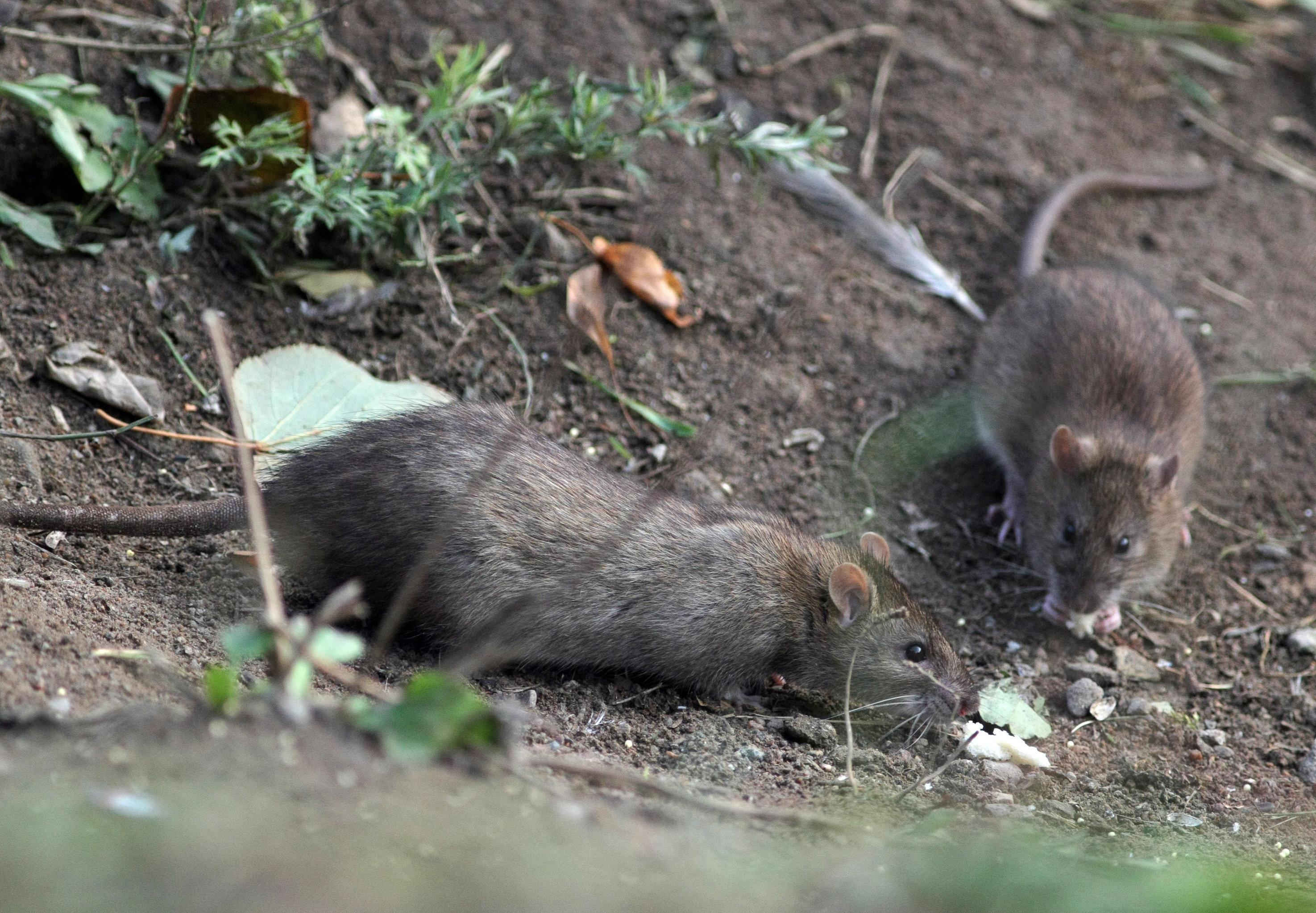 Las ratas cuentan con un 'intelecto social' por lo que podrían ocupar el lugar de los humanos en el planeta