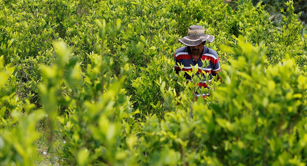 Cultivación de coca