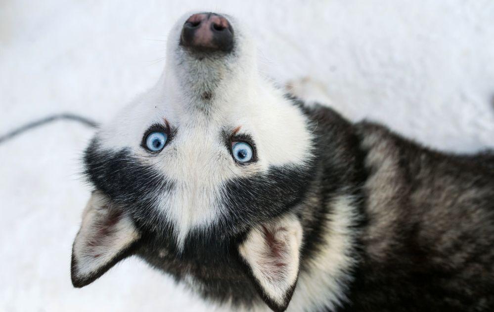 Este perro participa en el programa de rehabilitación y educación En camino con el husky en el parque moscovita de Sokólniki