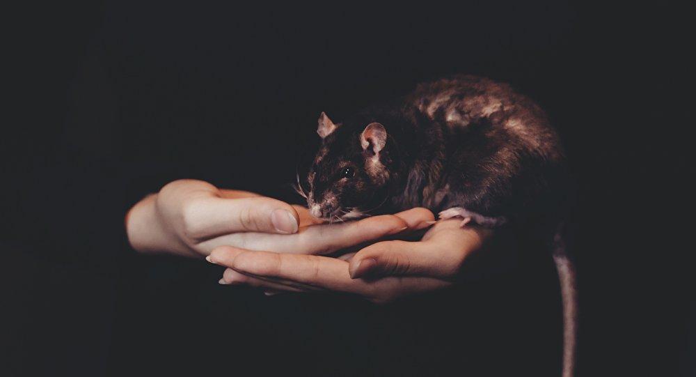 Rata (imagen referencial)