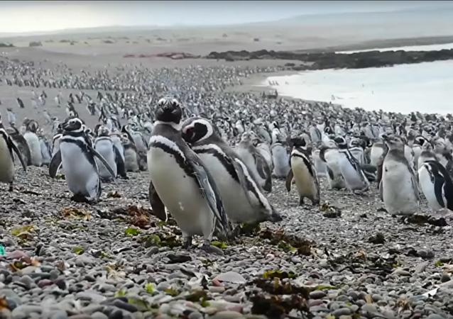 Espectacular: más de un millón de pingüinos ocupan las playas argentinas