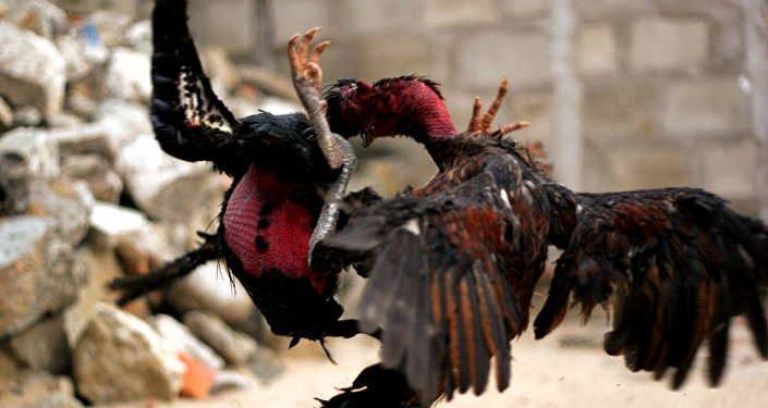 Dos gallos peleando