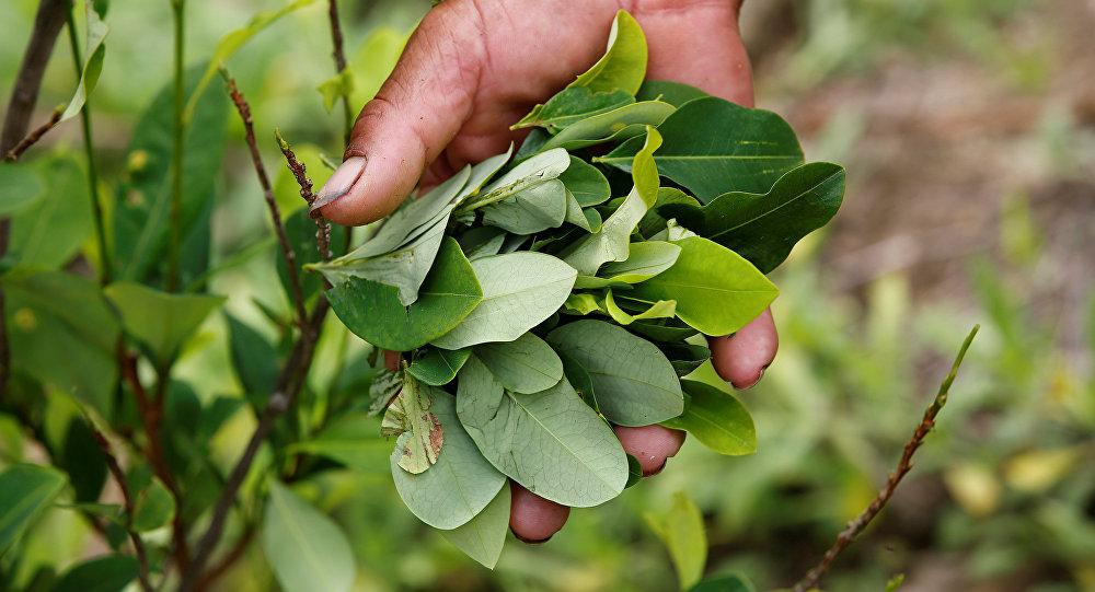 Cultivos de coca (imagen referencial)