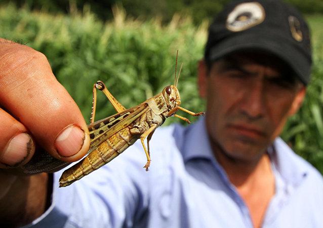 Plaga de langostas en Bolivia