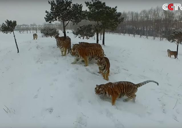 Tigres regordetes destrozan cuadricóptero que les espiaba