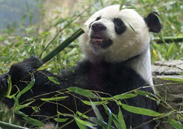 Un panda gigante