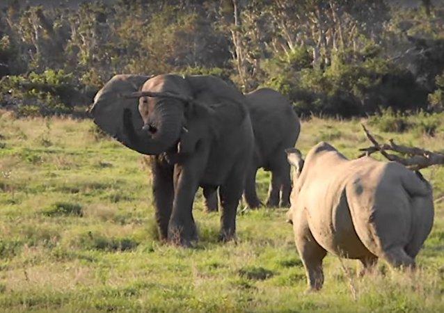 Un elefante y un rinoceronte blanco se miden en Sudáfrica