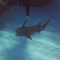 Tiburón con un cuchillo clavado en la cabeza pide ayuda a un buceador