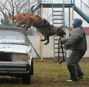 El exigente entrenamiento de los perros policía de la Guardia Nacional rusa