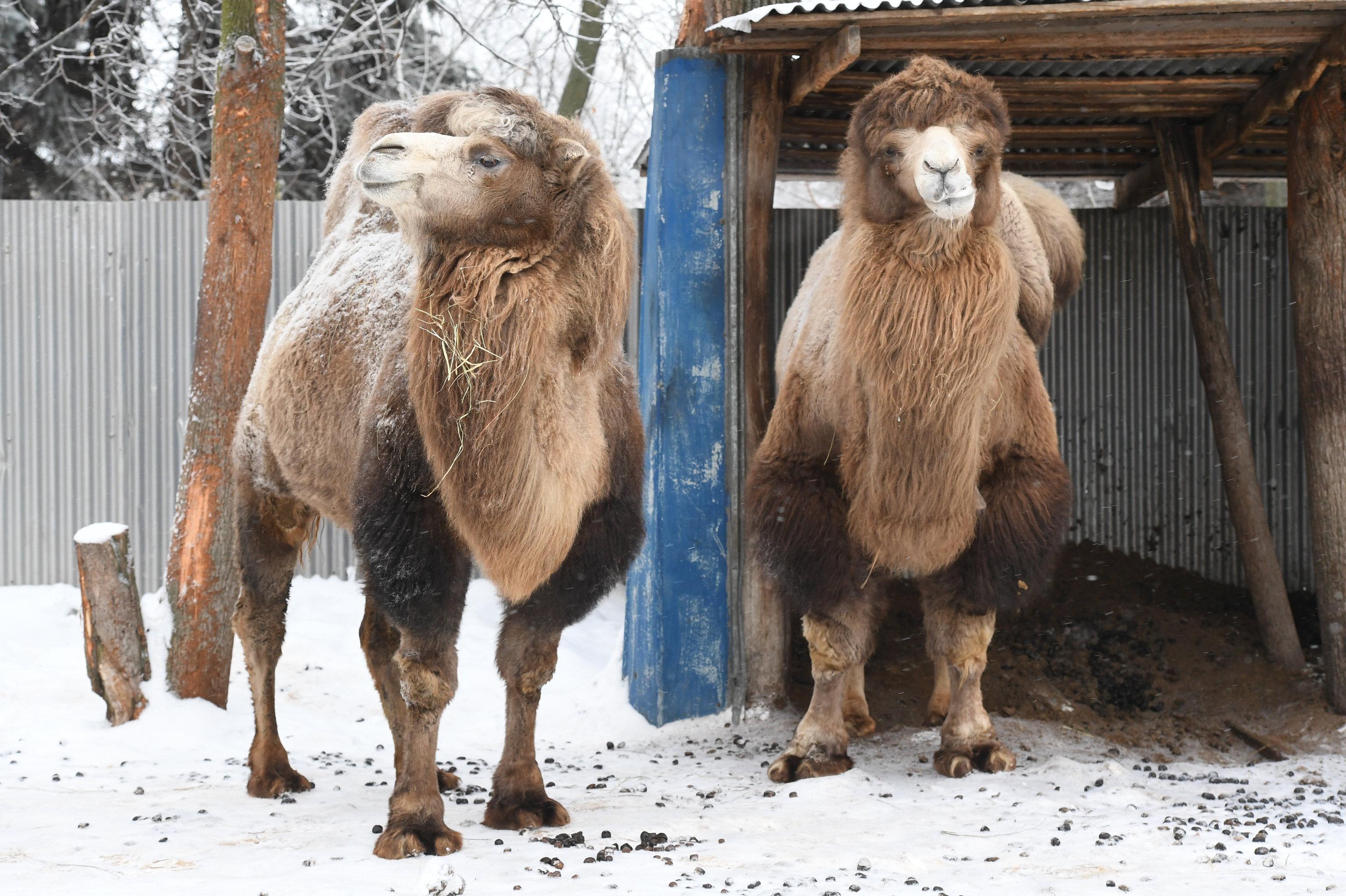 Un camello de dos jorobas