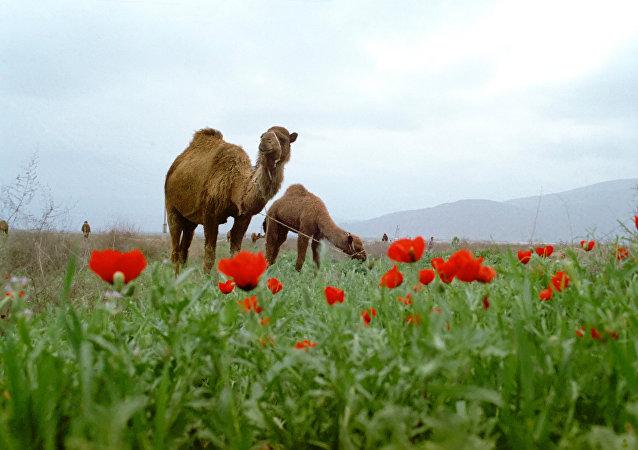 Camellos en Turkmenistán