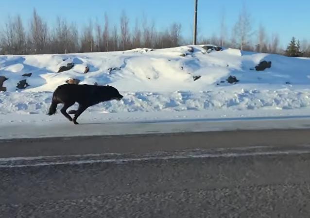 Dos enormes lobos escoltan a una mujer en Canadá