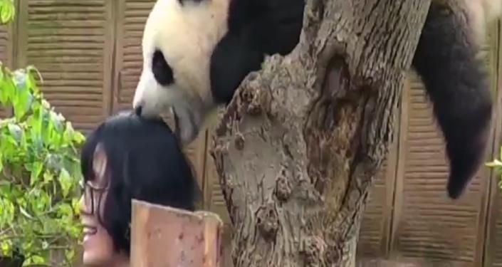 Un oso panda muerde a una turista