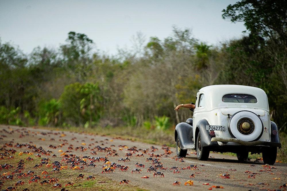 Cangrejos cruzan una carretera en Playa Girón, Cuba.