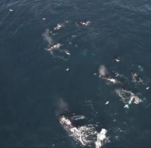 Orcas acuden a un banquete sangriento en la bahía de Monterrey