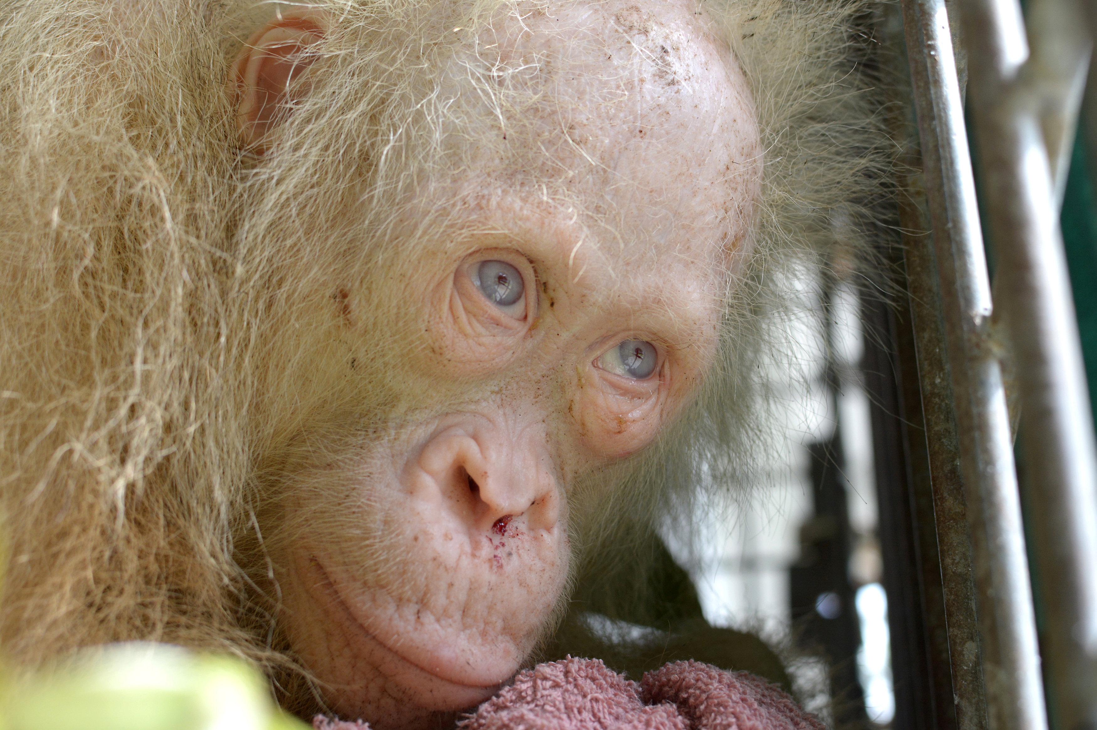 El ejemplar albino recientemente rescatado.