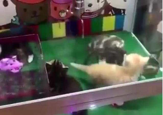 Una máquina de peluches que 'caza' gatitos vivos
