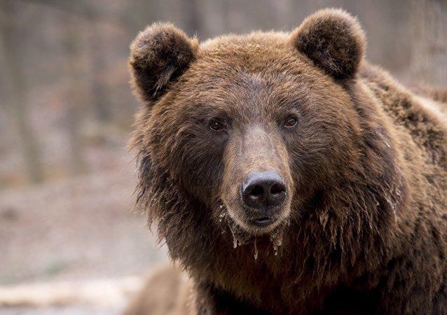 Un oso (archivo)