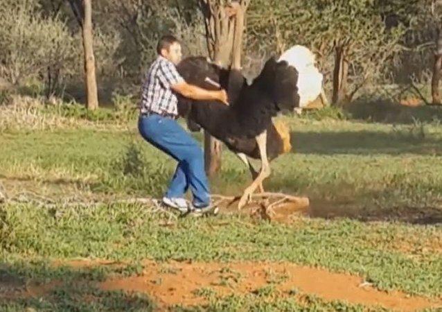 Un gigantesco avestruz enfurecido ataca a un hombre