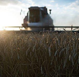 Cosecha de trigo en Rusia (imagen referencial)