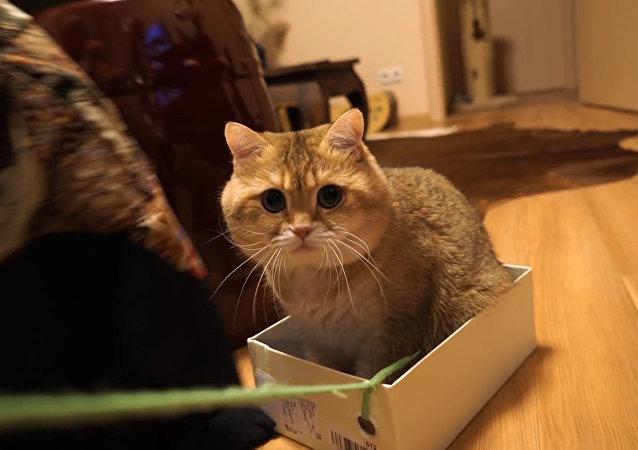 ¡Este gatito ruso robará tu corazón!