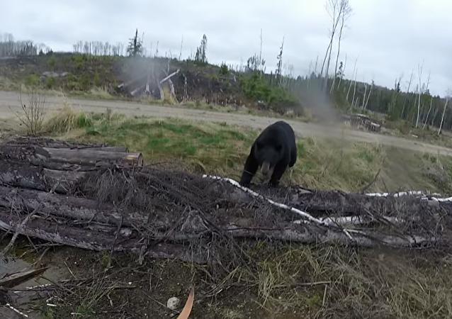 Repeler un ataque con arco y flecha no funciona con los osos