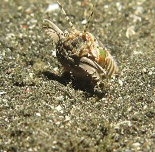Un gusano Bobbit, también llamado Eunice aphroditois