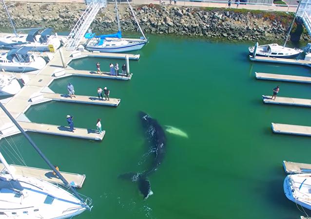 Una ballena monstruosa asusta a los residentes de California