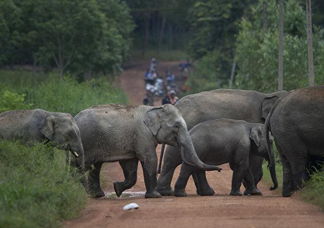Elefantes salvajes (archivo)