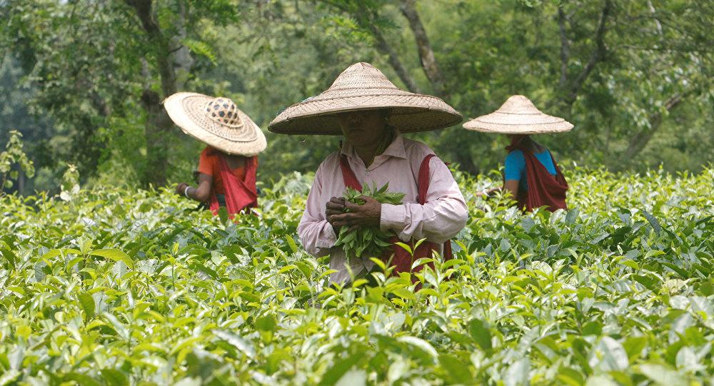 Trabajadores del jardín de té en la India
