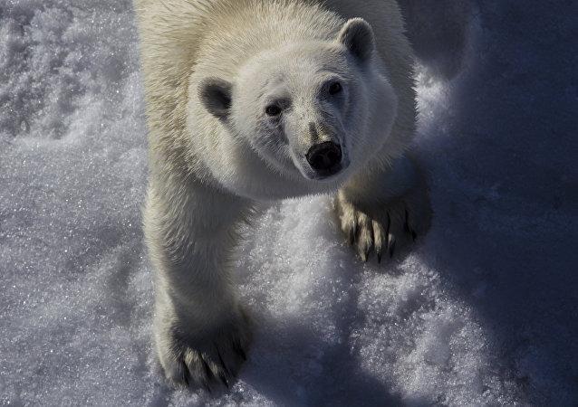 Oso polar (imagen referencial)