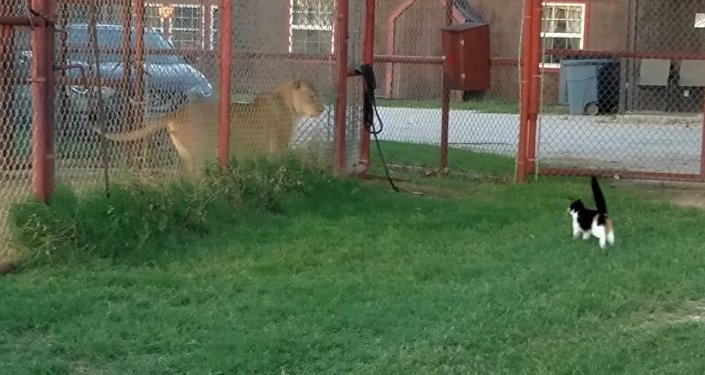 Valiente gata desafía a una leona