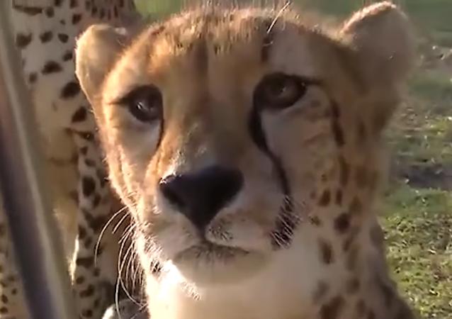 Un guepardo que maúlla le 'cambia la vida' a los internautas