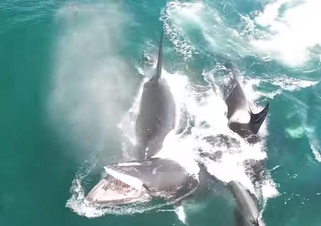 Un grupo de orcas acaba con una ballena de 12 metros en Kamchatka