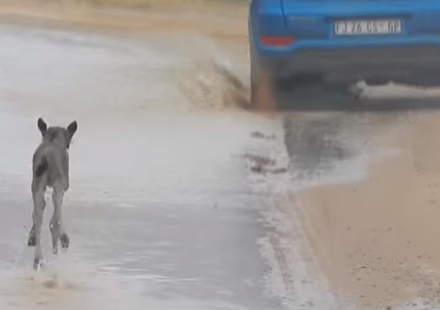 Un pequeño antílope sigue a un automóvil