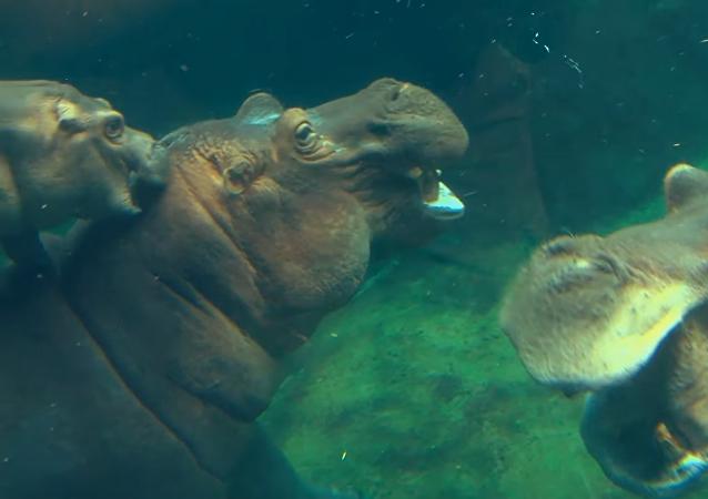 Los hipopótamos del zoo de Cincinnati