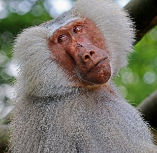 Baboon (imagen referencial)