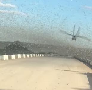 La octava plaga: nubes de langostas invaden Kazajistán