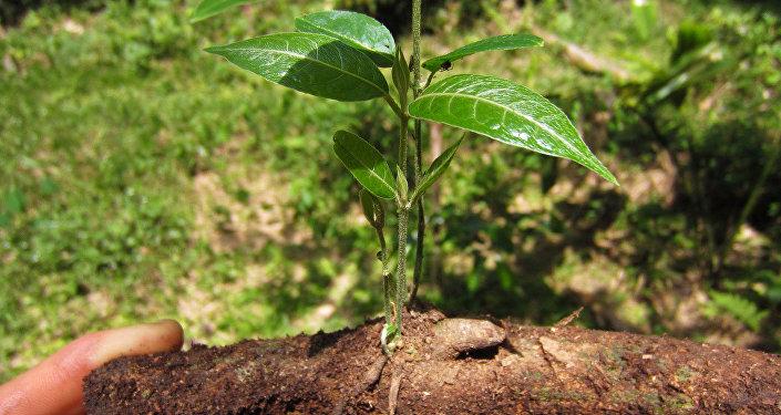 'Banisteriopsis caapi', una de las plantas de las que se obtiene la ayahuasca