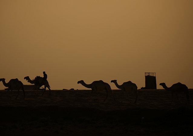 Camellos cerca de Al Raqa, Siria