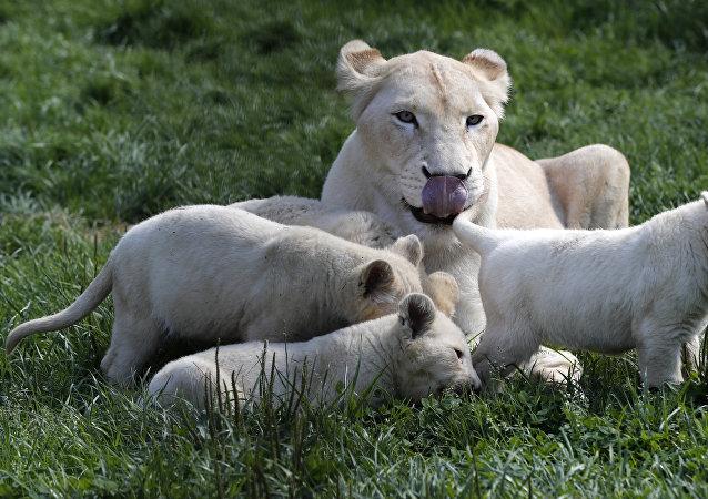 Leones blancos en Dvorec, Chequia