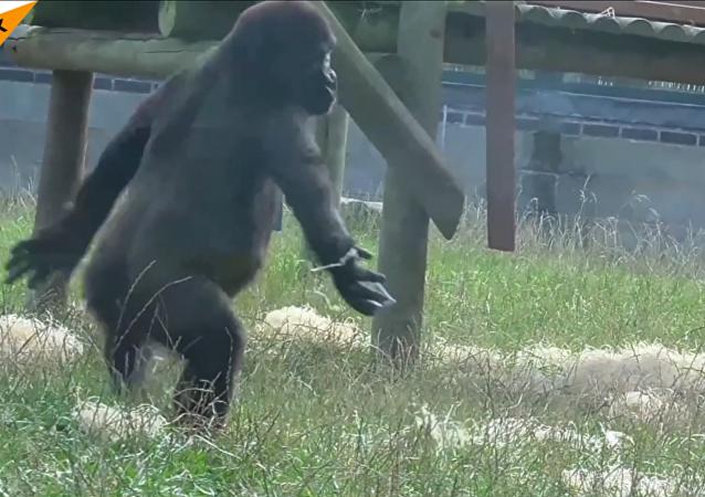Un gorila bailando