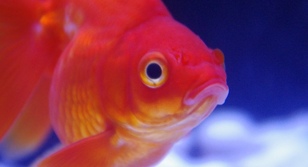 Alcoholismo acu tico los peces dorados fabrican etanol for Fabricacion de estanques para peces
