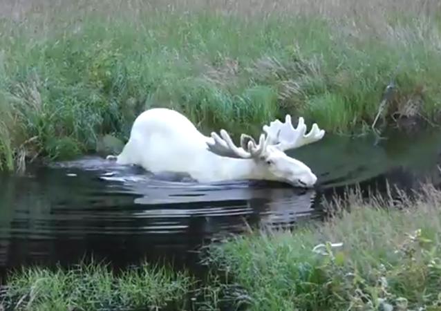 Como salido de un cuento de hadas: graban a un alce albino en Suecia