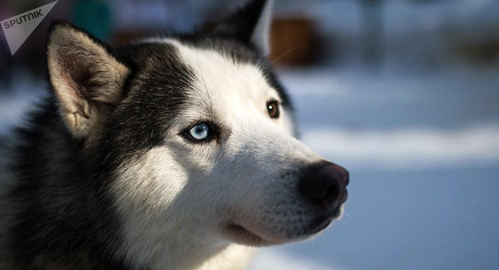 Alerta Por Husky Siberiano A Raiz De La Serie Game Of Thrones