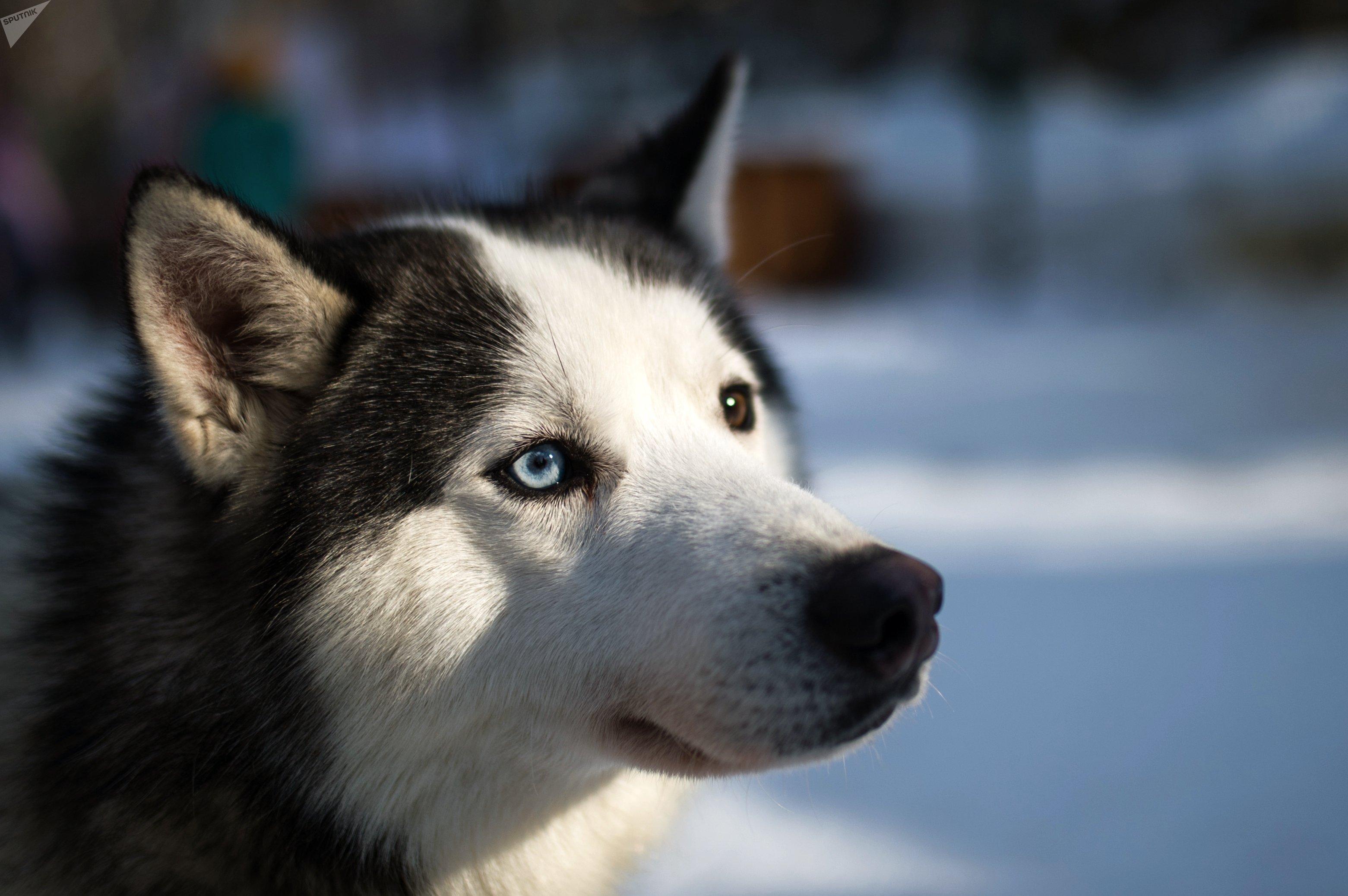 Un husky siberiano