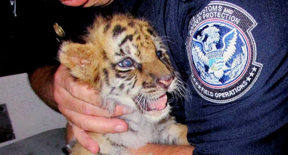Un tigre bengala confiscado en la frontera mexicana