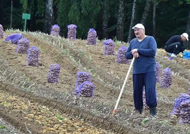Lukashenko, agricultor: día de recolección de papa para el presidente de Bielorrusia
